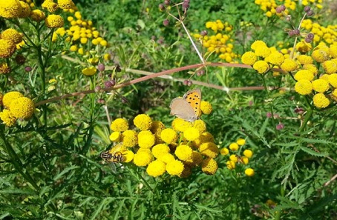 Blommenpaad kleine vuurvlinder